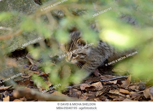 European wildcat, Felis silvestris silvestris, young animal, side view, run