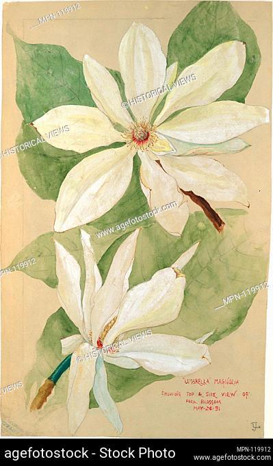 Umbrella Magnolia. Artist: Tiffany & Co. (1837-present); Date: 1891; Geography: Made in New York, New York, United States; Culture: American; Medium: Watercolor
