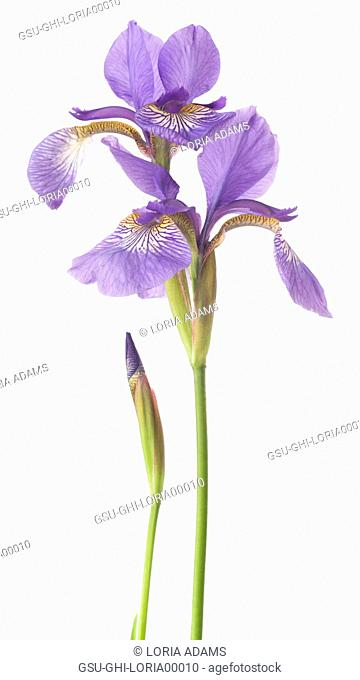 Siberian Iris (Iris sibirica) on White Background