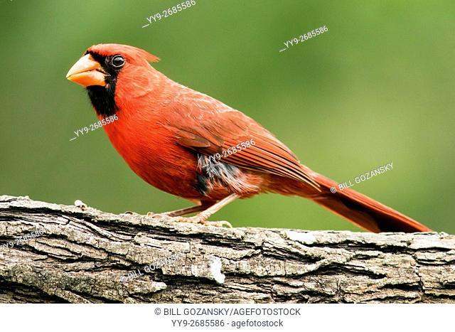 North Cardinal (Male) - Camp Lula Sams, Brownsville, Texas, USA