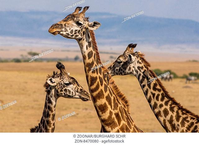 Girafe,Netzgiraffe,Giraffe,Giraffa camelopardalis reticulata