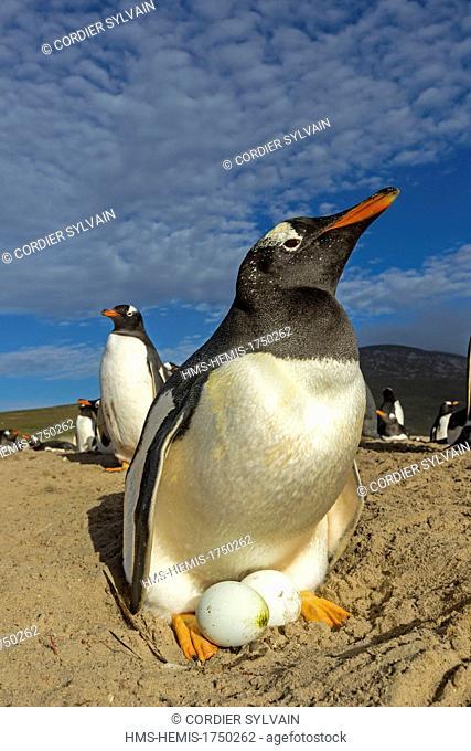 Falkland Islands, Saunders island, The Neck, Gentoo Penguin (Pygoscelis papua papua), on the nest