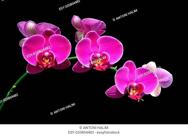 moon's orchid (Phalaenopsis amabilis)