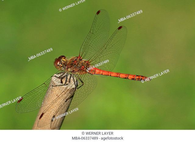 ruddy darter, Sympetrum sanguineum