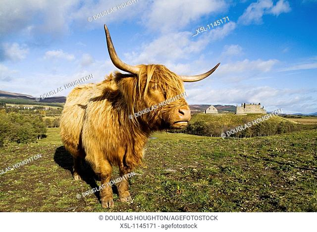 Ruthven Barracks KINGUSSIE INVERNESSSHIRE Garrison barracks Jacobite era and Scottish Highland cow