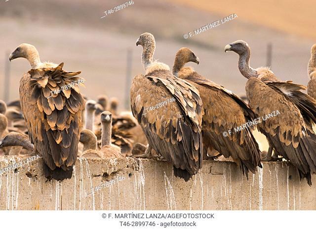 Griffon vulture (Gyps fulvus). Photographed in Campo de San Pedro Segovia