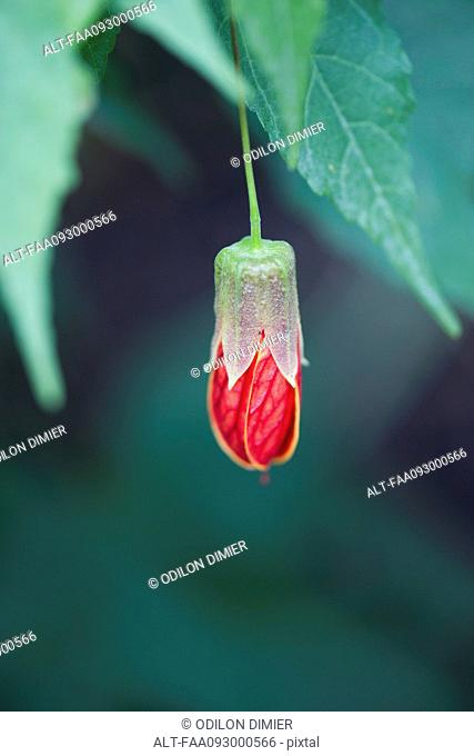 Flowering maple (Abutilon)