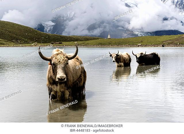 Yaks (Bos mutus) standing in water, Ice Lake, Braga, Manang District, Nepal