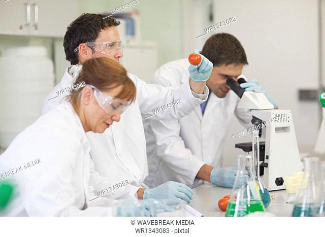 Three calm scientists examining tomatoes