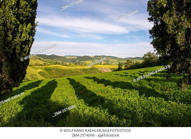 Landscape with Italian cypress trees (Cupressus sempervirens) in the Val d'Orcia near Pienza in Tuscany, Italy
