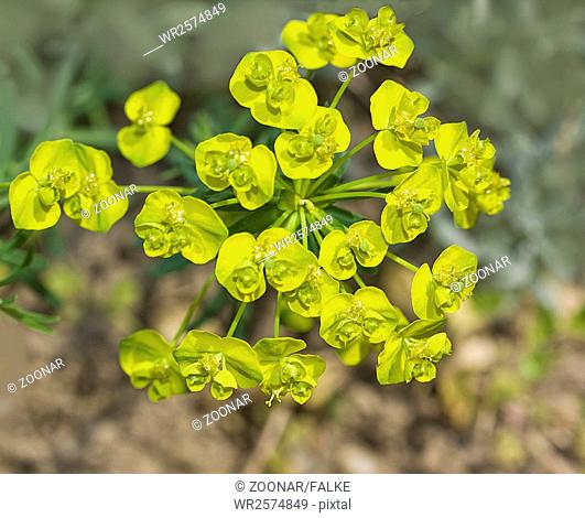 Cypress spurge Euphorbia cyparissias