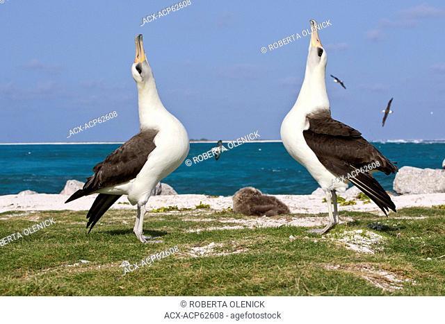 Laysan albatross (Phoebastria immutabilis), courtship, Sand Island, Midway Atoll National Wildlife Refuge, Northwest Hawaiian Islands