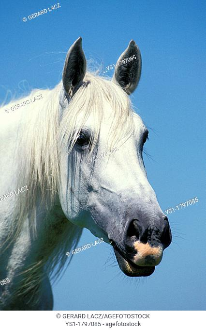 Lusitano Horse, Portrait of Adulte