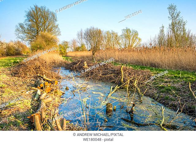 Chopped logs along a waterway on Wicken Fen Nature Reserve in warm evening sun, Cambridgeshire, East Anglia, England, UK