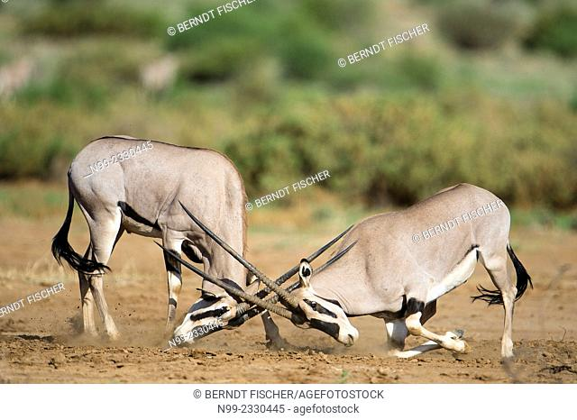 Oryx (Oryx gazella), two bucks fighting, Samburu National Reserve Kenya