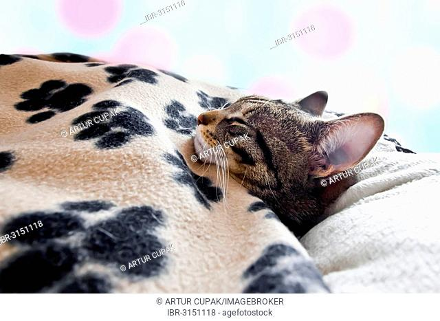 House cat sleeps under a blanket