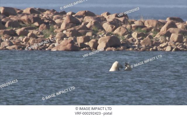 Polar bears sparring in sea, Manning Island, Nunavut, Canada