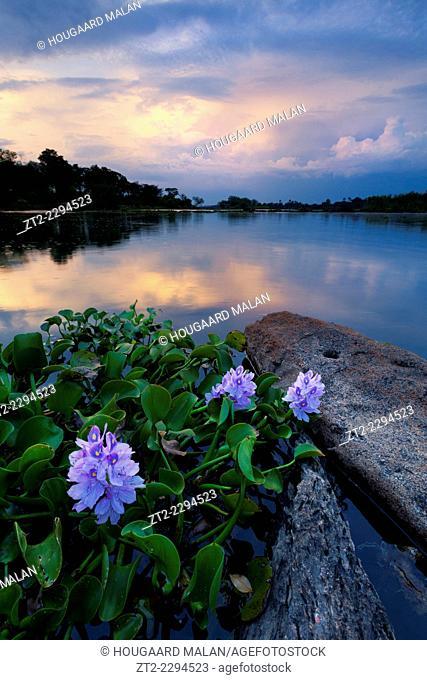 Landscape photo of lilies on the Zambezi river. Near Victoria Falls, Zimbabwe