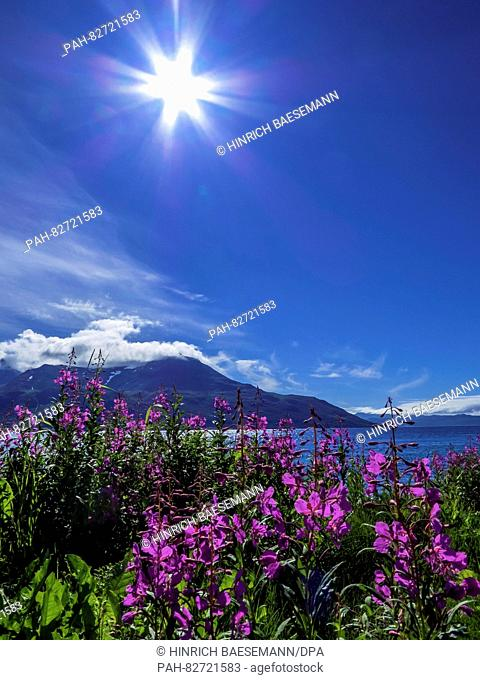 Fireweed and sun, july 2016   usage worldwide. - Tromsö/Troms/Norway