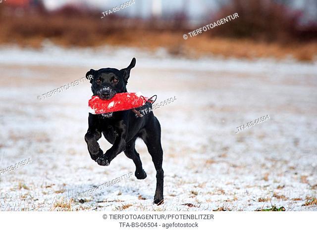 playing Labrador Retriever