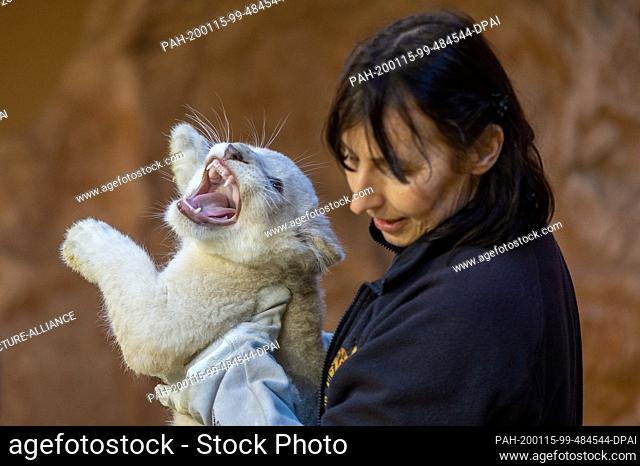 15 January 2020, Saxony-Anhalt, Magdeburg: Animal keeper Susann Paelecke carries a small white lion back into the enclosure