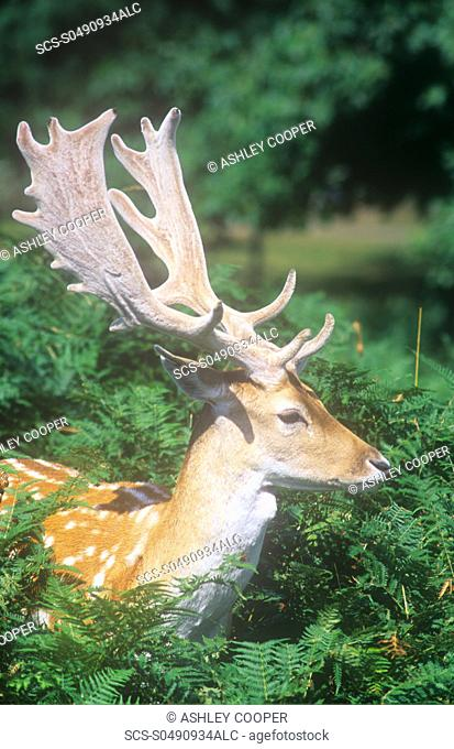A Fallow Deer stag with its antlers still in velvet, in Bradgate Park, Leicestershirte, UK