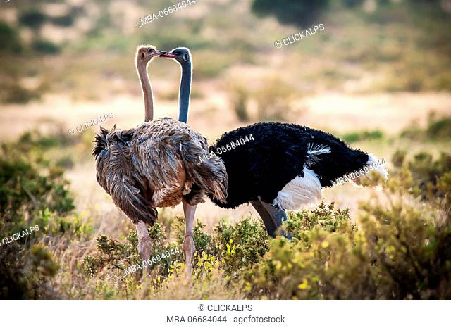 Samburu National Reserve. Kenya, Africa. Couple of Ostriches Somalis (Struthio molybdophanes)