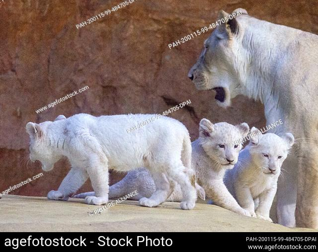 15 January 2020, Saxony-Anhalt, Magdeburg: Mother Kiara (r) walks with her three kittens through the indoor enclosure. The three white lion cubs were born on...