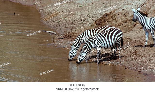 BURCHELL'S ZEBRA DRINKING; MAASAI MARA, KENYA, AFRICA; 06/09/2016