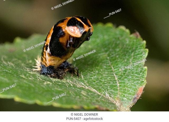 Harlequin ladybird Harmonia axyridis Close up image of pupa on birch leaf, depicting a curious upright alarm attitude when disturbed