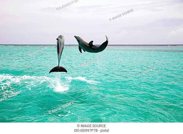 Bottlenose dolphins leaping from sea