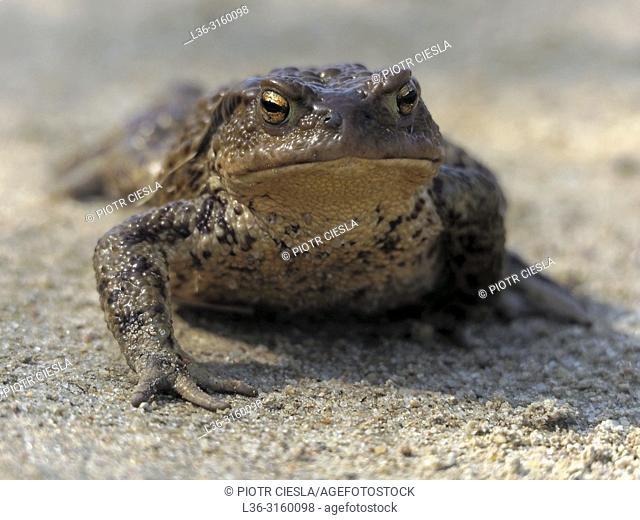 A toad. Poland