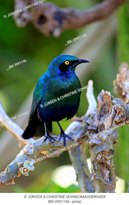 Greater blue-eared starling (Lamprotornis chalybaeus), adult on tree, Kruger National Park, South Africa