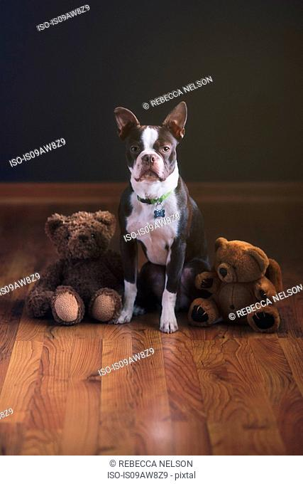 Boston terrier puppy and teddy bears on wooden floor