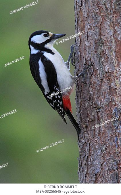 Europe, Finland, Karelia, Vartius, great spotted woodpecker, Dendrocopos major