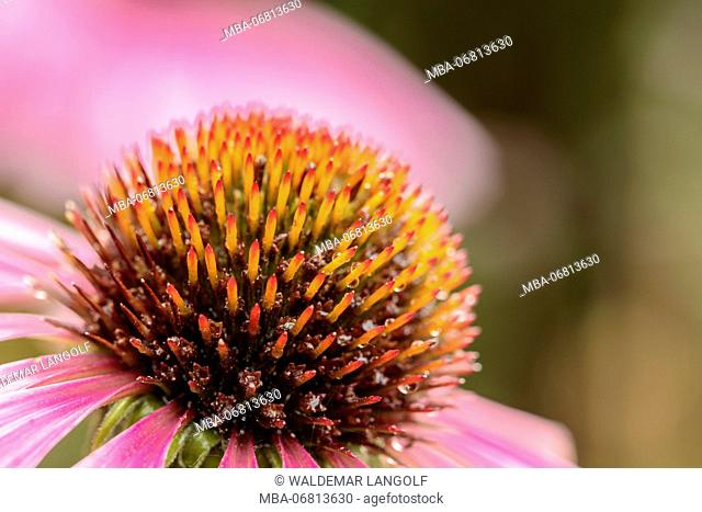 Purple corneflower, Echinacea purpurea, close-up