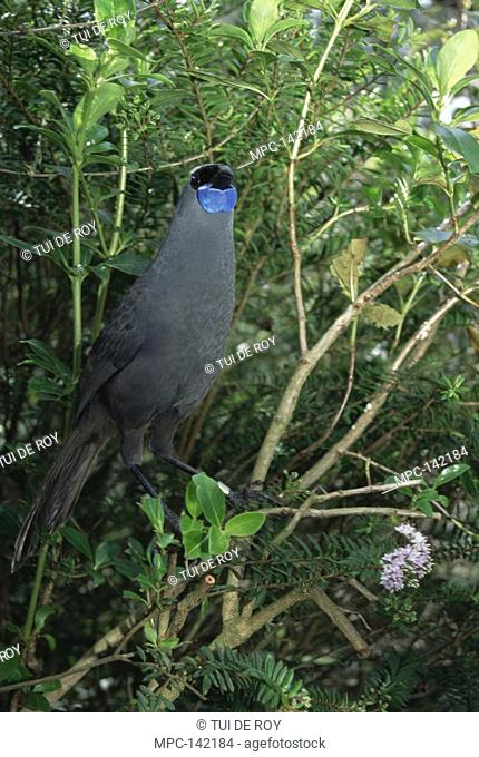 North Island Kokako Callaeas cinerea wilsoni, threatened endemic species, plant eater, forest floor to canopy, lives in close-bonded pair year-round