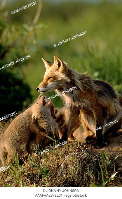 Red Fox male with six week old pups play at den site (Vulpes vulpes) McNeil River State Sanctuary, Alaska,USA, June