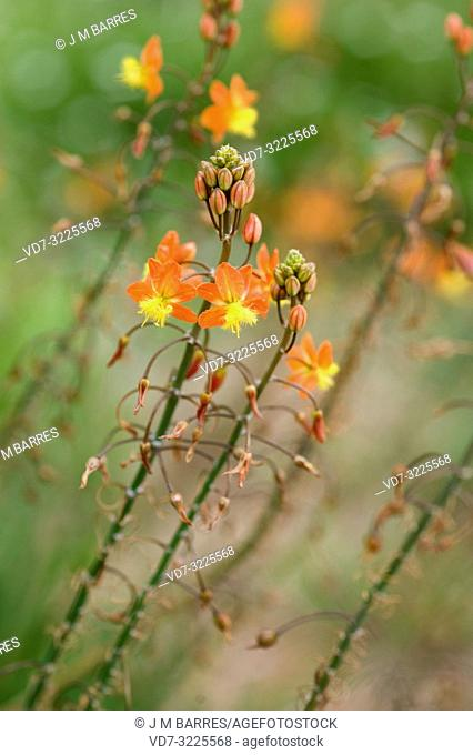 Snake flower (Bulbine frutescens) is a perennial herb native to southern Africa. Flowers detail