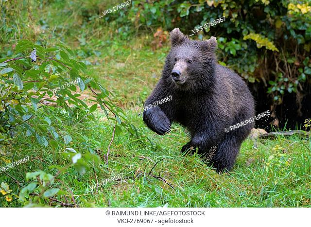 Brown Bear, Ursus arctos, Cub running, Bavaria, Germany
