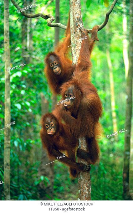 Orangutans (Pongo pygmaeus). Borneo