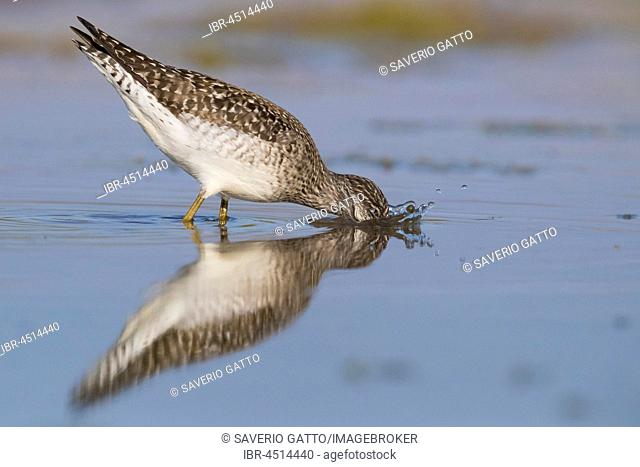 Wood Sandpiper (Tringa glareola), adult feeding in a pond, Campania, Italy
