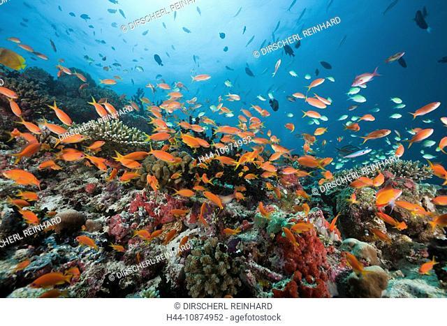 Korallenriff mit Fahnenbarschen, Pseudanthias squamipinnis, Nord Ari Atoll, Malediven, Coral Reef with Lyretail Anthias, Pseudanthias squamipinnis