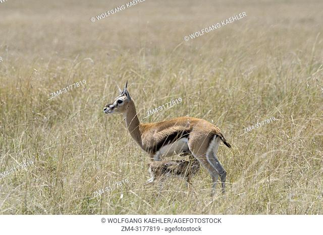 A Thomsons gazelle (Eudorcas thomsonii) nursing a baby in the grassland of the Masai Mara National Reserve in Kenya