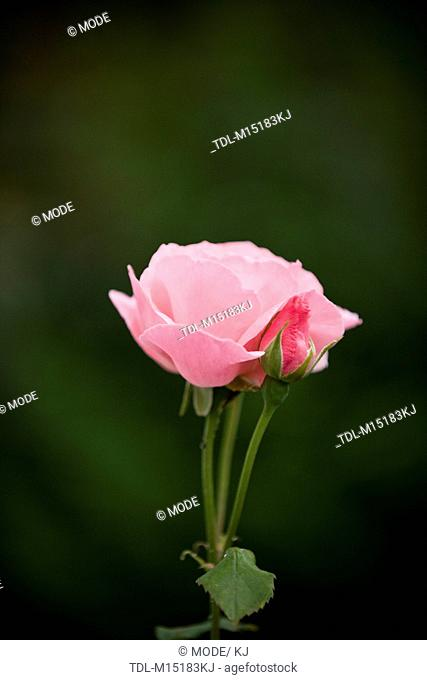 A pink rose and bud