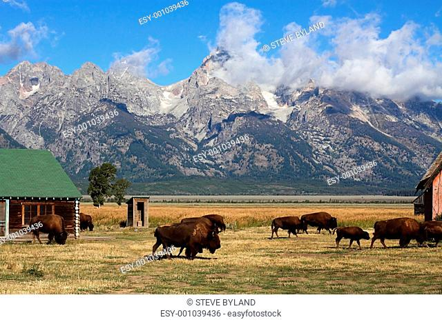 Bison Herd in the Grand Tetons