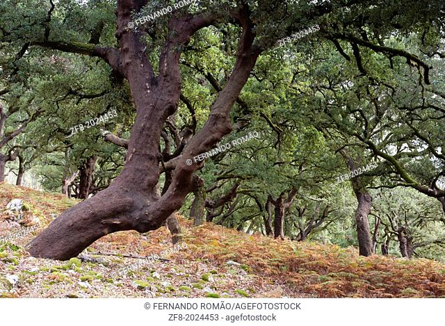 Cork-oak forest at Lousã Mountain, Portugal