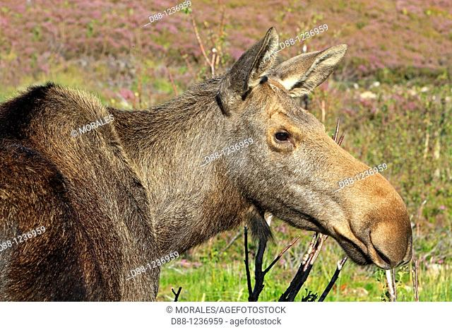 Moose  Female  Alces alces Order : Artiodactyla Family: Cervidae