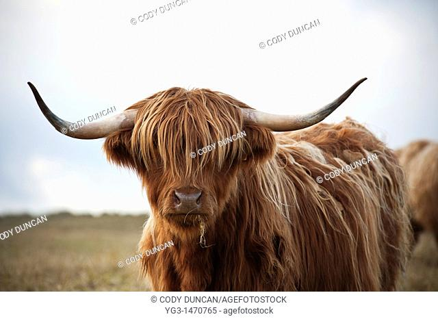 Scottish highland cow, Outer Hebrides, Scotland