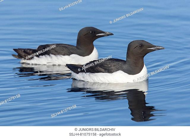 Bruennichs Guillemot, Thick-billed Murre (Uria lomvia). Two adults swimming on the sea. Svalbard